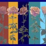 Rosenbilder-kompr-150×150